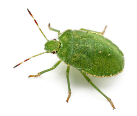 prasina: Green shield bug, Palomena prasina, in front of white background