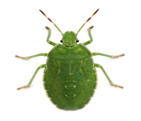 green shield bug: High angle view of a Green shield bug, Palomena prasina, in front of white background