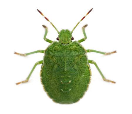 palomena prasina: High angle view of a Green shield bug, Palomena prasina, in front of white background
