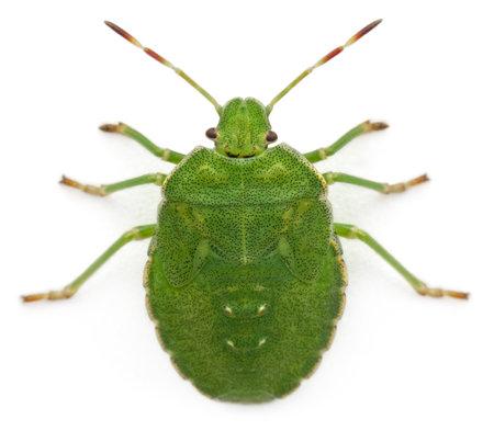 ハイアングルビュー: エゾアオカメムシの prasina、白い背景の前で、緑色のシールド バグの高角度のビュー 写真素材
