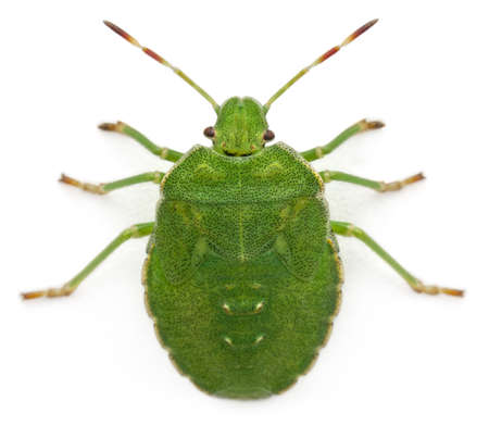 bugs: High angle view of a Green shield bug, Palomena prasina, in front of white background