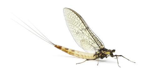 invertebrate: Mayfly, Ephemera danica, in front of white background