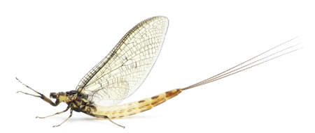ephemera: Mayfly, Ephemera danica, in front of white background