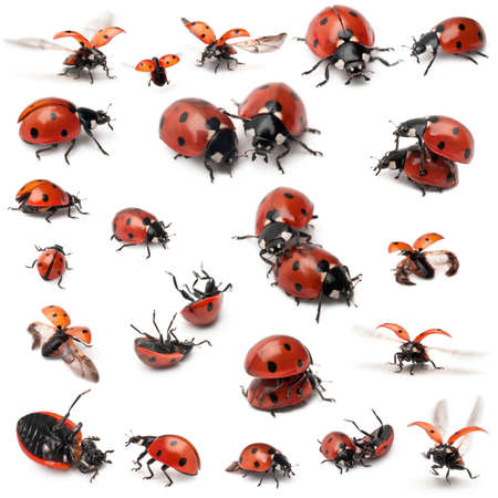 animal species: Collection of Seven-spot ladybirds, Coccinella septempunctata, in front of white background