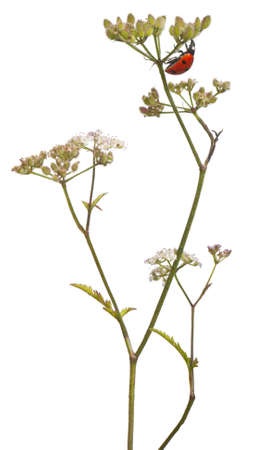 coccinella: Seven-spot ladybird or seven-spot ladybug, Coccinella septempunctata, on flower stem in front of white background