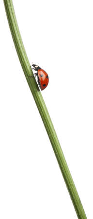 coccinella: Seven-spot ladybird or seven-spot ladybug, Coccinella septempunctata, on plant stem in front of white background