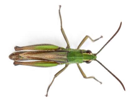 High Angle oog van cricket in de voorkant van een witte achtergrond