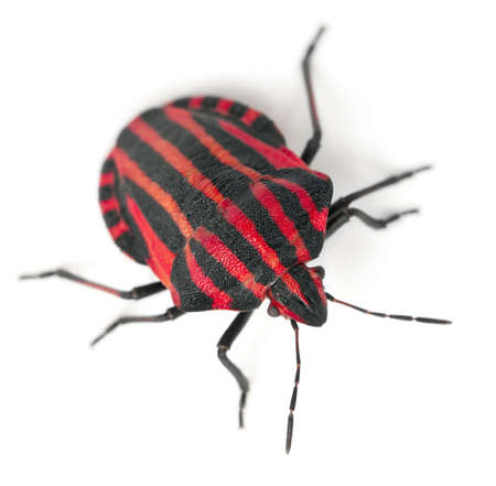 Shield bug, Graphosoma lineatum, in front of white background photo