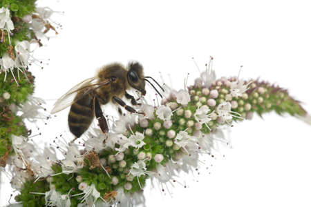 bee pollen: Female worker bee, Anthophora plumipes, on plant in front of white background