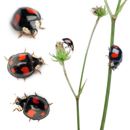 lady bug: Asian lady beetles, or Japanese ladybug or the Harlequin ladybird, Harmonia axyridis, composition on plants in front of white background