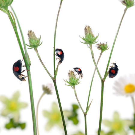 Asian lady beetles, or Japanese ladybug or the Harlequin ladybird, Harmonia axyridis, on plants in front of white background photo