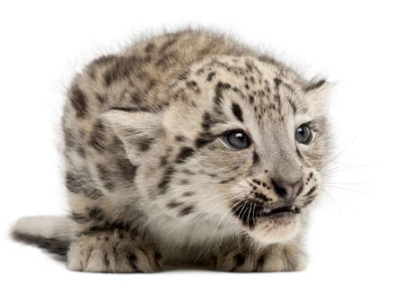 leopard: Snow leopard, Uncia uncia or Panthera uncial, 2 months old, in front of white background
