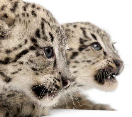 leopard head: Snow leopards, Uncia uncia or Panthera uncial, 2 months old, in front of white background
