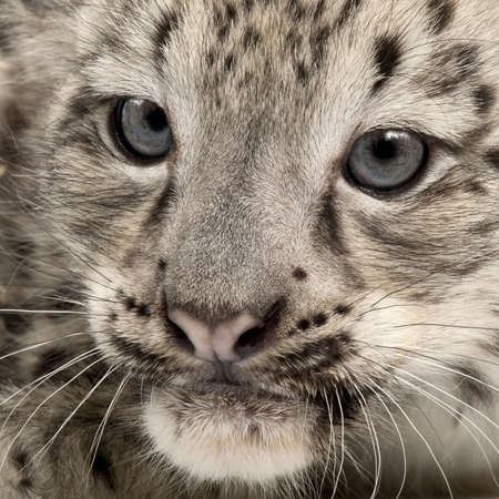 leopard head: Snow leopard, Uncia uncia or Panthera uncial, 2 months old, close up Stock Photo
