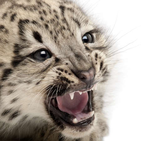 leopard head: Snow leopard, Uncia uncia or Panthera uncial, 2 months old, in front of white background
