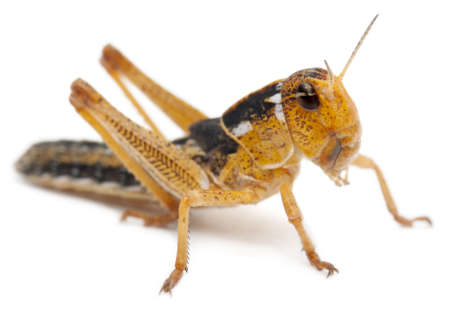 Asian Cricket in front of white background