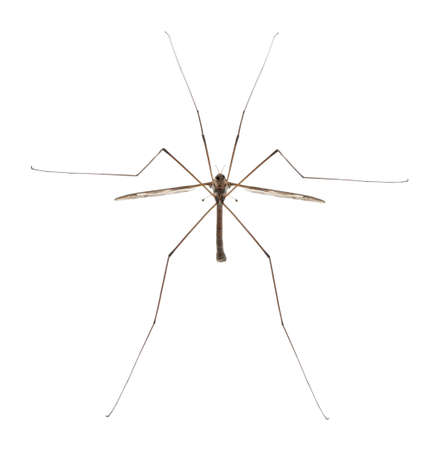 longlegs: Crane fly or daddy long-legs, Tipula maxima, in front of white background