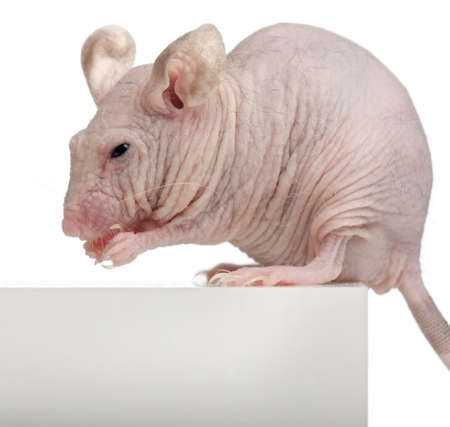 musculus: Hairless House mouse, Mus musculus, 3 months old, sitting on box in front of white background Stock Photo