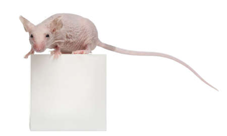 musculus: Hairless House mouse, Mus musculus, 3 months old, on box in front of white background