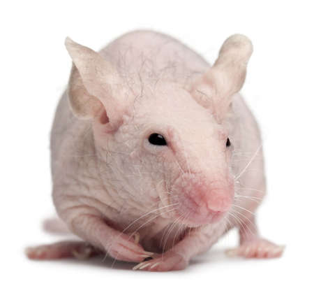 musculus: Hairless House mouse, Mus musculus, 3 months old, in front of white background