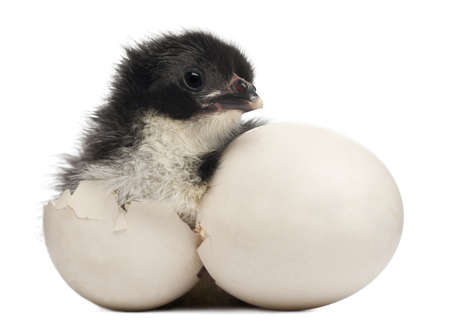 domesticus: Chick, Gallus gallus domesticus, 8 hours old, standing next to its own egg in front of white background Stock Photo