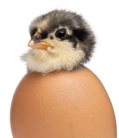 Chick, Gallus gallus domesticus, 3 days old, in egg in front of white background photo