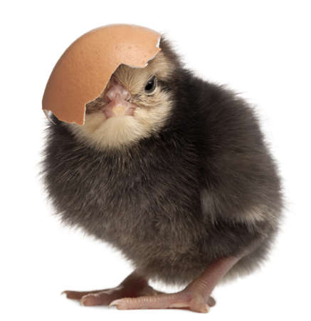 chicken egg: Chick, Gallus gallus domesticus, 3 days old, with eggshell in front of white background