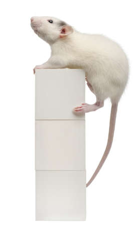 norvegicus: Common rat or sewer rat or wharf rat, Rattus norvegicus, 4 months old, on box, in front of white background