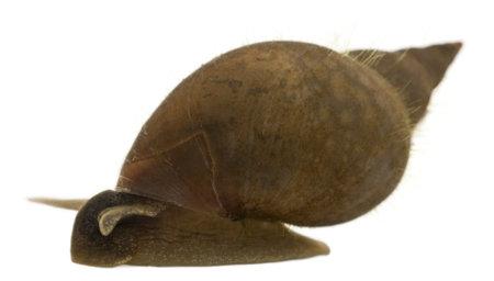caracol: Caracol de estanque grande, Lymnaea stagnalis, una especie de caracol de agua dulce, delante de fondo blanco