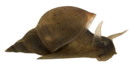 species: Great pond snail, Lymnaea stagnalis, a species of freshwater snail, in front of white background