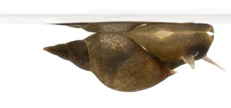 Caracol gran estanque, Lymnaea stagnalis, una especie de caracol de agua dulce, por delante de fondo blanco Foto de archivo - 11184827