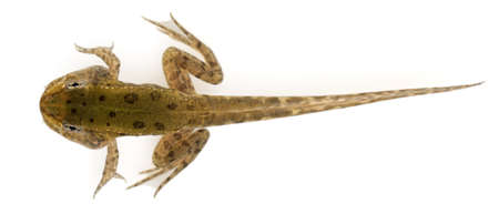 tadpole: Edible Frog, Rana esculenta, around 12 weeks old after hatching, in front of white background