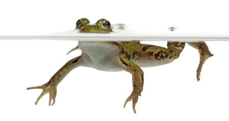 submersion: Edible Frog, Rana esculenta, in water in front of white background