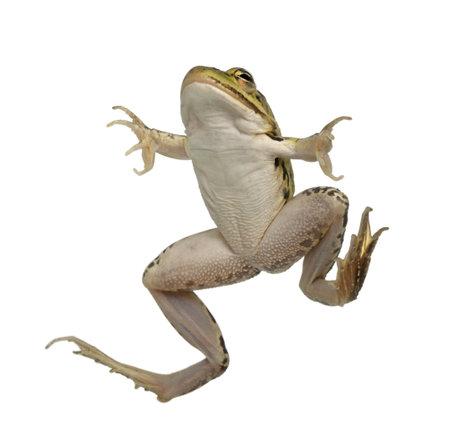 invertebrates: Edible Frog, Rana esculenta, in front of white background