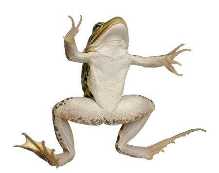 esculenta: Edible Frog, Rana esculenta, in front of white background