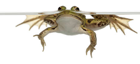 no swimming: Edible Frog, Rana esculenta, in water in front of white background
