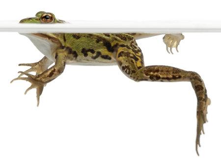 esculenta: Edible Frog, Rana esculenta, in water in front of white background