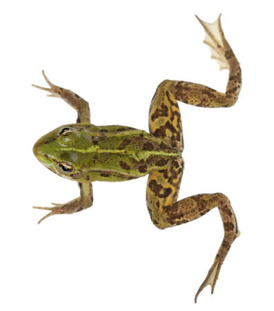 rana: Edible Frog, Rana esculenta, in front of white background