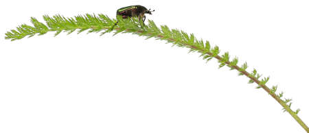 Rose chafer, Cetonia aurata, on plant in front of white background photo