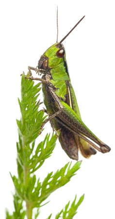 Cricket on a plant in front of white background photo