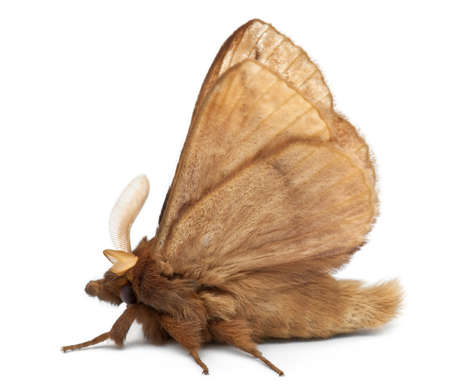 potatoria: Male Drinker, Euthrix potatoria, a moth in front of white background