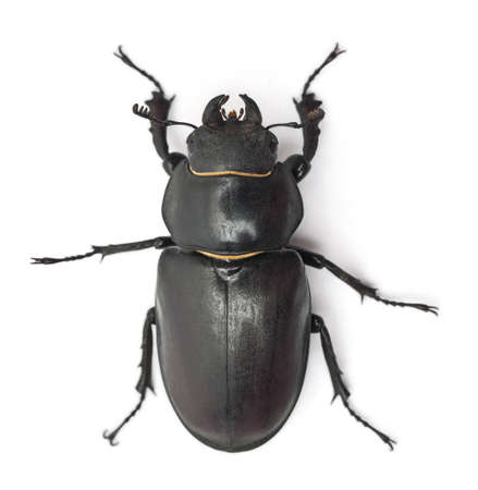 species: Female Lucanus cervus, the best-known species of stag beetle, in front of white background