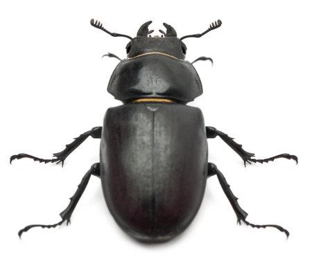 escarabajo: Mujer Lucanus cervus (ciervo volante) delante de fondo blanco