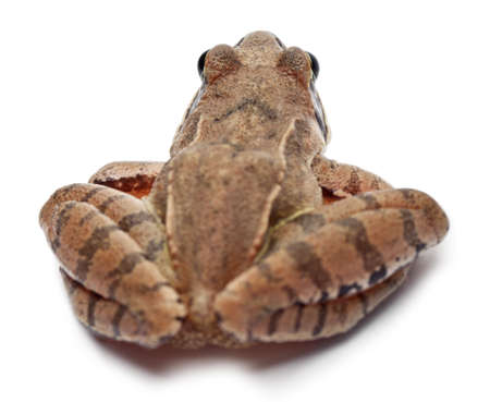 rana arvalis: Moor Frog, Rana arvalis, in front of white background