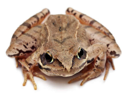 Moor Frog, Rana arvalis, in front of white background Stock Photo - 11184599