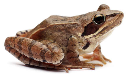 Moor Frog, Rana arvalis, in front of white background photo