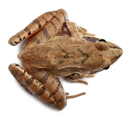 High angle view of a Moor Frog, Rana arvalis, in front of white background photo