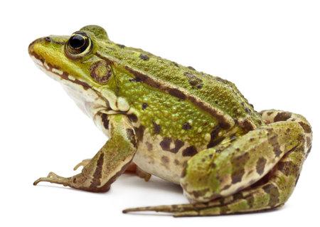 лягушка: Общеевропейская лягушка или Съедобные лягушка, рана Esculenta, в передней части белый фон