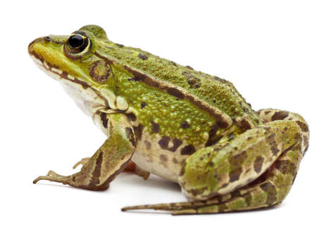 Common European frog or Edible Frog, Rana esculenta, in front of white background Stock Photo