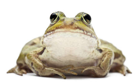 Common European frog or Edible Frog, Rana esculenta, in front of white background photo